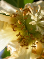 Kiwiblüte